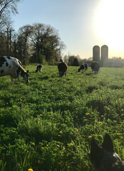Dairy cows grazing - raw milk dairy farm jackson michigan, hillsdale michigan, adrian michigan